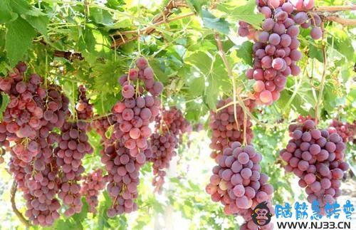 什么时候是摘葡萄的好时机?